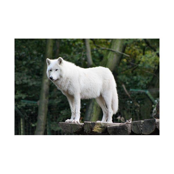 Картины, Картина 600х400 мм Белый волк , Wolf  - купить со скидкой