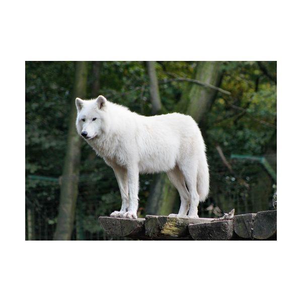 Купить Картины, Картина 700х500 мм Белый волк , Wolf