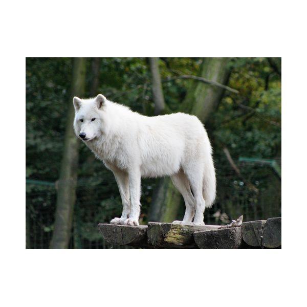 Купить Картины, Картина 400х300 мм Белый волк , Wolf